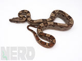 Load image into Gallery viewer, 2020 Female Motley 100% Het T+ Albino Possible Het Anerythristic Boa