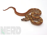 Load image into Gallery viewer, 2020 Male Hypo Motley Jungle 100% Het Kahl Sunglow Boa