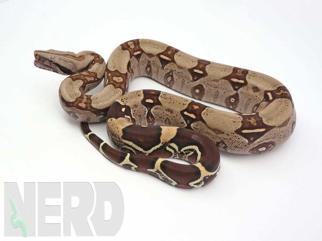 Early 2019 A+ Male Guyana Red Tail Boa