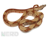 Load image into Gallery viewer, 2020 Male Hypo Jungle 66% Double Het Kahl Albino & Het Blood Boa