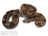 Load image into Gallery viewer, 2019 Male Anery Roswell Ladder Tail Boa