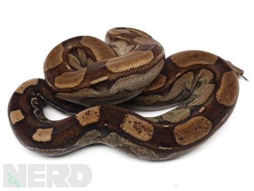 2019 Male Anery Roswell Ladder Tail Boa