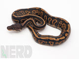 Load image into Gallery viewer, 2020 Female Black Pastel Confusion Ball Python