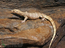 Female T+ Albino Water Monitor (2 year old)