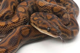 Load image into Gallery viewer, Subadult Female Aberrant Brazilian Rainbow Boa