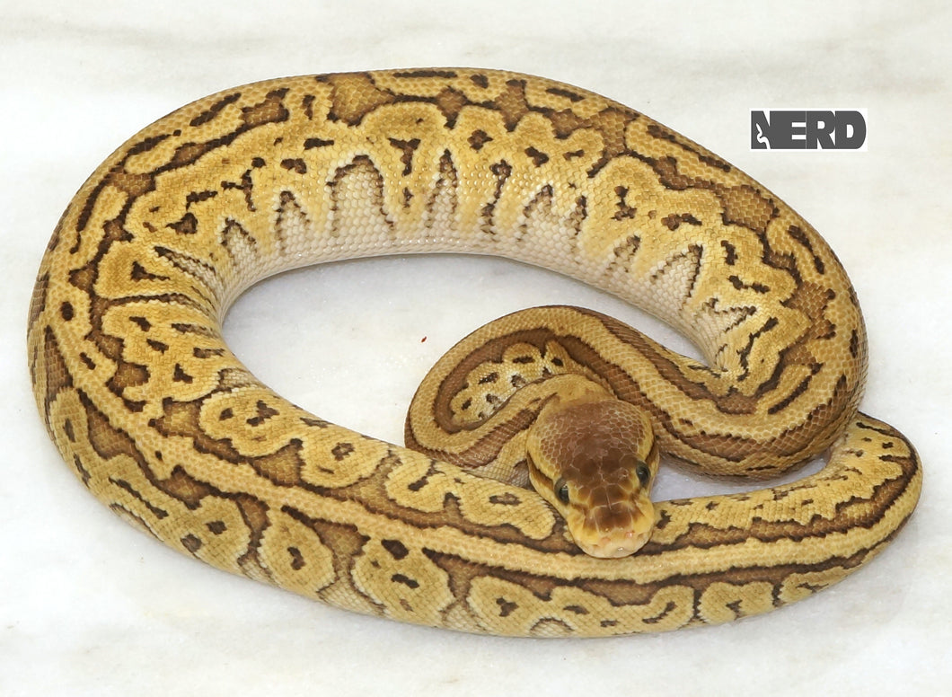 Female Odium Lemonblast Yellowbelly Ball Python