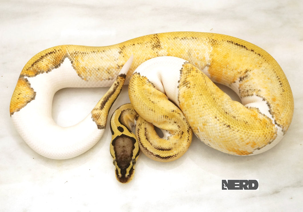Male Super Pastel Pied Ball Python