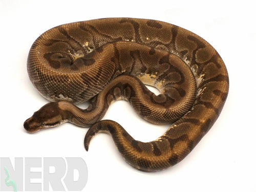 Proven Breeder Male Hidden Gene Woma Yellowbelly Enchi Ball Python