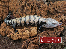 indonesian blue tongue skink
