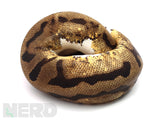 Load image into Gallery viewer, 2019 Male Leopard Piebald Ball Python