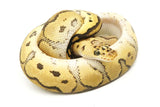 Load image into Gallery viewer, Male Pastel EMG Clown Ball Python