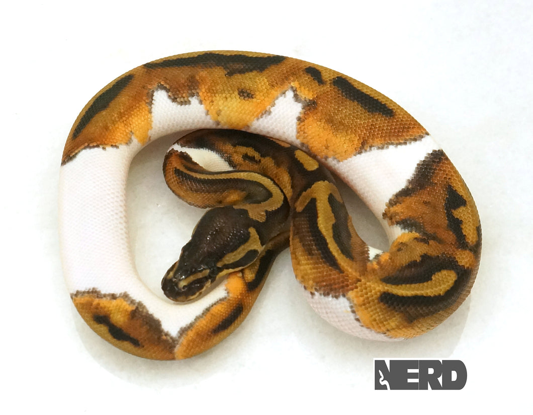 Female Pied Ball Python