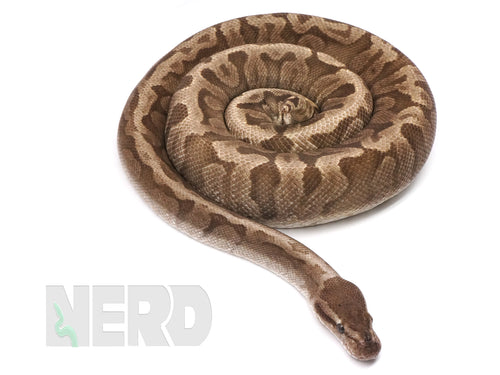 Proven Breeder Male GHI Hidden Gene Woma Ball Python