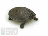Load image into Gallery viewer, Giant Painted Terrapin (Batagur borneoensis)