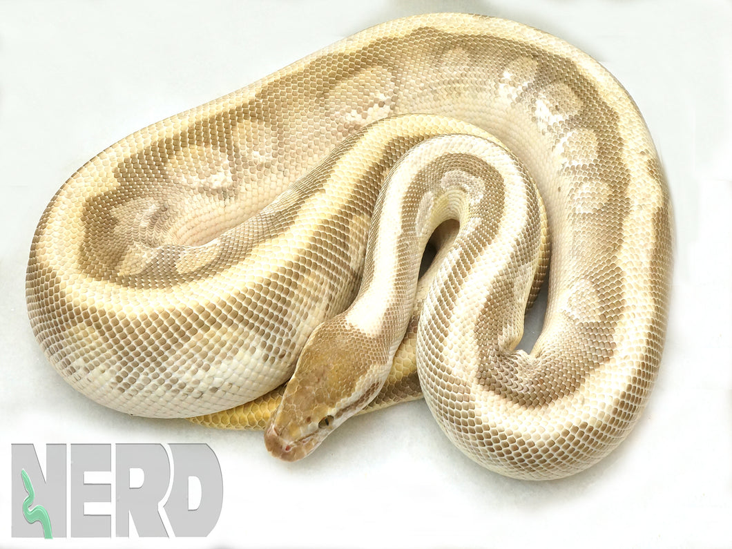Breeder Male Enchi Soul Sucker Ball Python