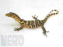 Female 2020 NERD F1 CBB Sumbawa Bright Yellow Locality Asian Water Monitor