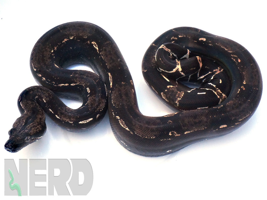 2 Year + Female Holdback Anery Type 1 IMG Boa