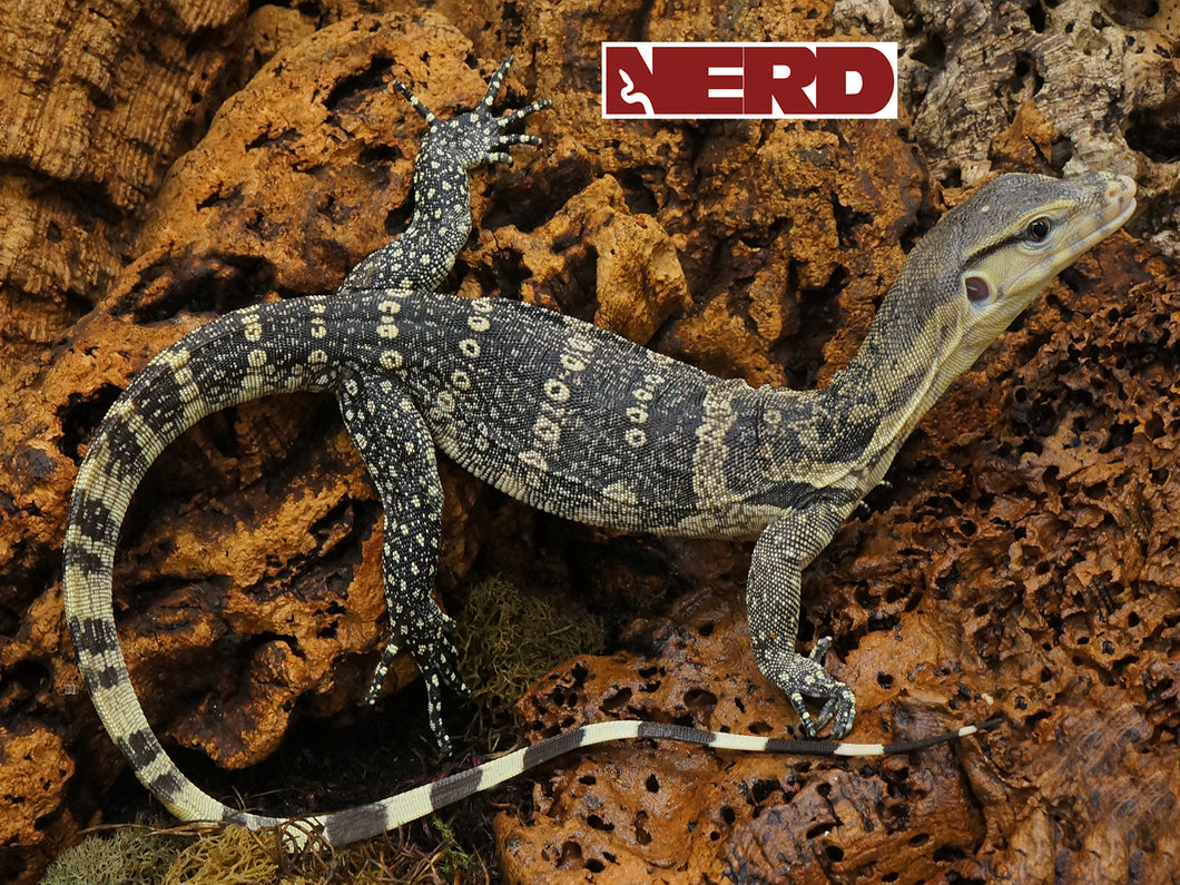 Male 3rd Generation Captive Bred Water Monitor 100% Het for T+ Albino