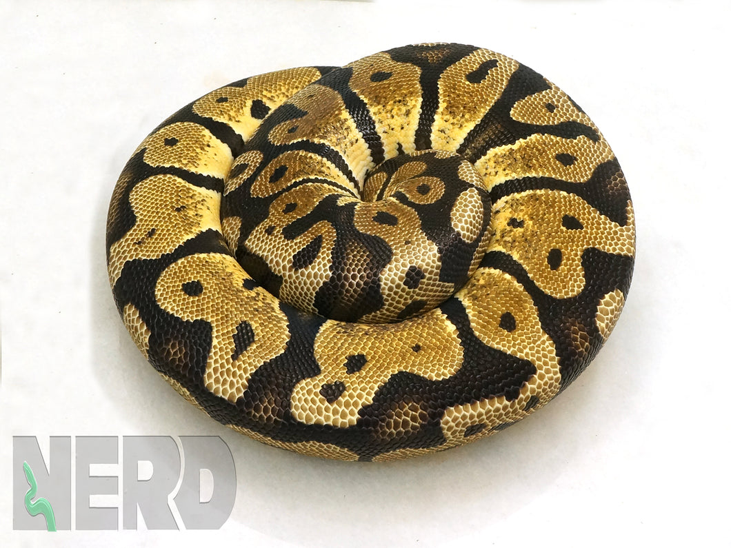 Proven Breeder Male Pastel Micro Scale Ball Python