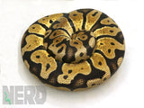 Load image into Gallery viewer, Proven Breeder Male Pastel Micro Scale Ball Python