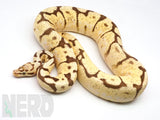 Load image into Gallery viewer, Proven Breeder Male Bumble Bee Enchi Fader Plus Ball Python