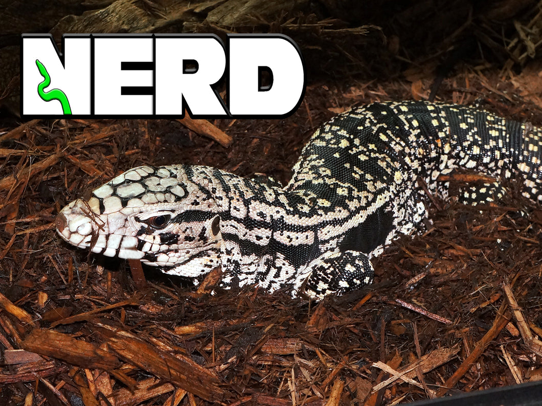 Sub-Adult Argentine Black And White Tegu