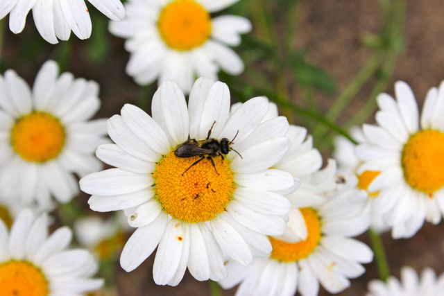 Mason wasp on oxide daisy