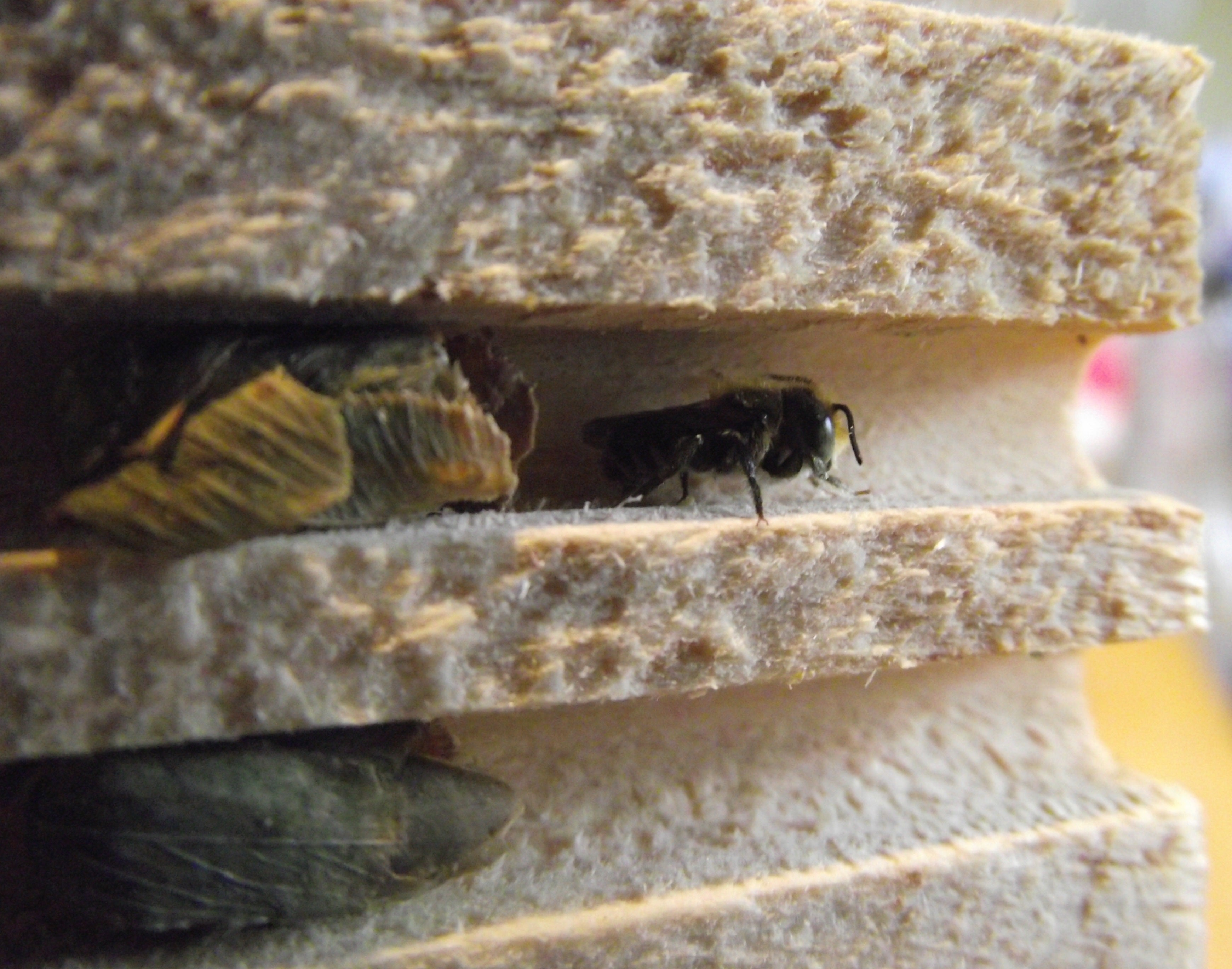 Solitary Bee 3