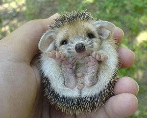 This baby hedgehog is cute!  it is the African Pygmy hedgehog – not the European one that is found in NZ.