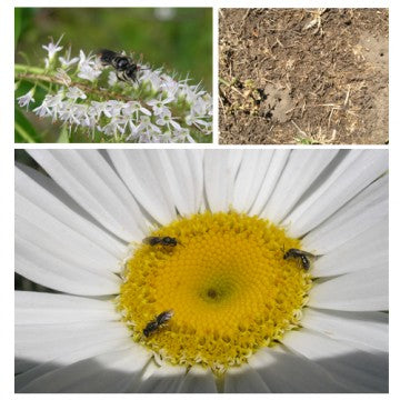 native_bees1-360x360