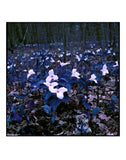 "Stephen John Crosby ""Purple Trilliums"" Photograph, 2015"