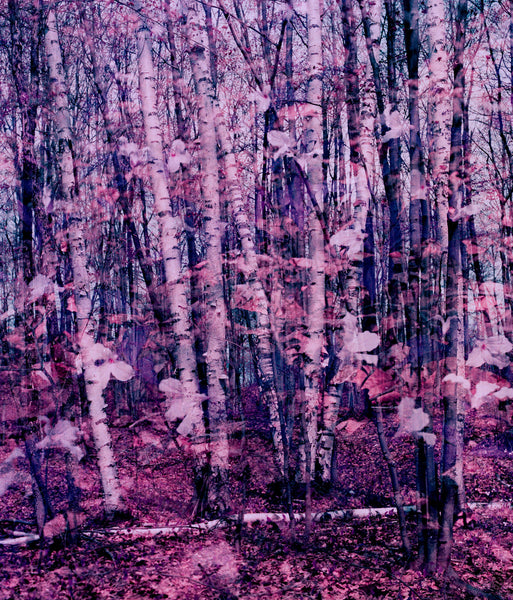 "Stephen John Crosby ""Birch/Trilliums"" Photograph, 2014"