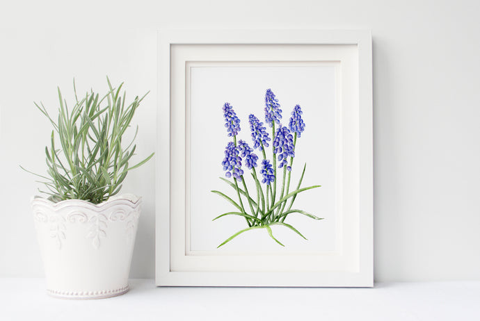 Grape Hyacinth - 50 Watercolor Flowers Project