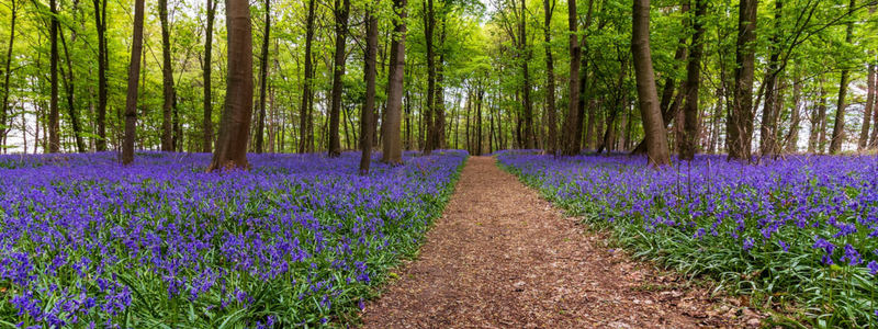 Bluebell Walks Near You: 8 Routes To Try