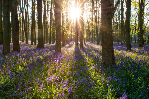 Things to do this spring - bluebell walk