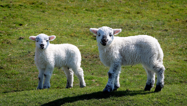 Things to do this spring - meet newborn lambs