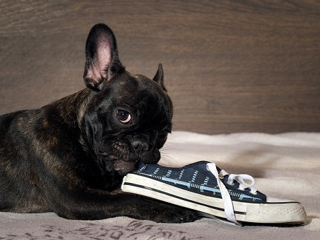 frenchie chewing shoe