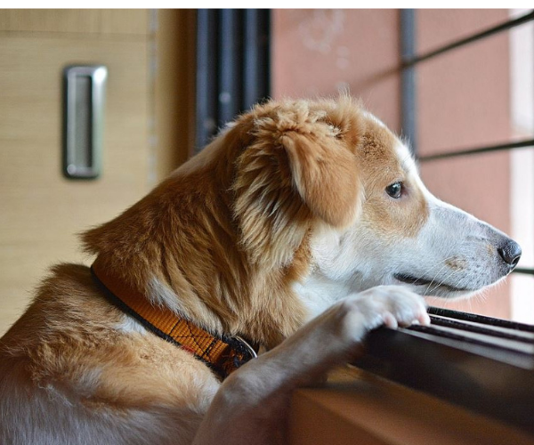 dog looking by the window