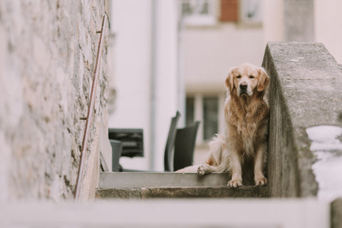 golden retriever at stairs