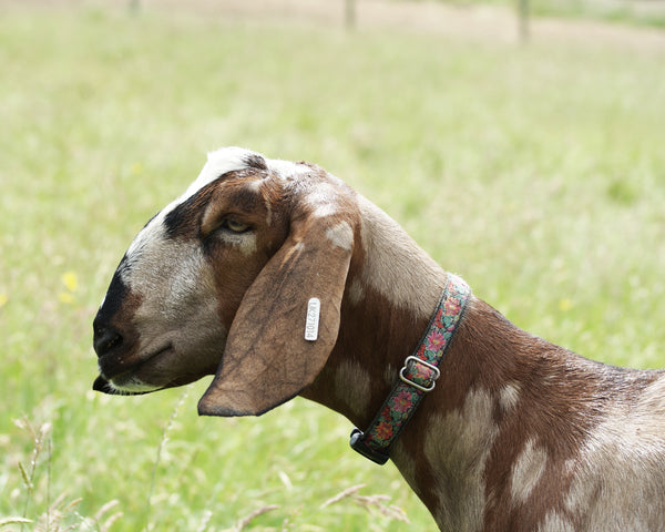 One of Amy & Jim's pedigree Anglo-Nubians goats, The Raw Soap Company