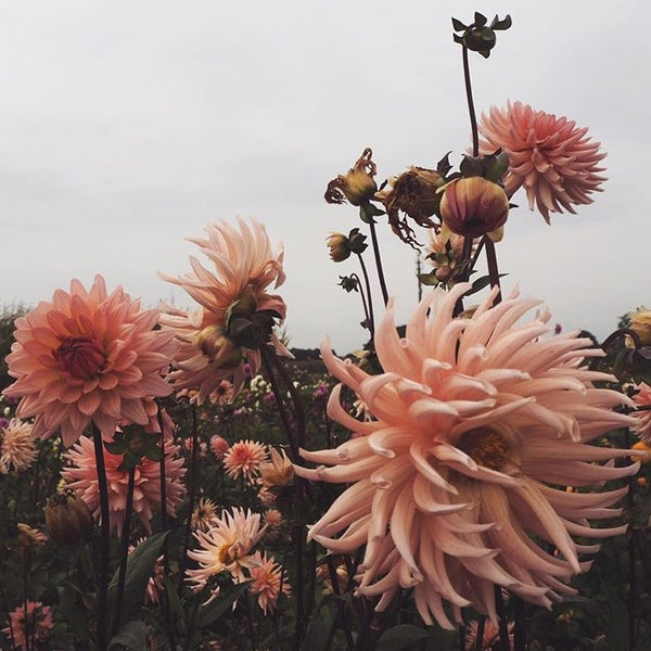 Beautiful dahlias for 'Simple Nature Finds' by @nicpfr