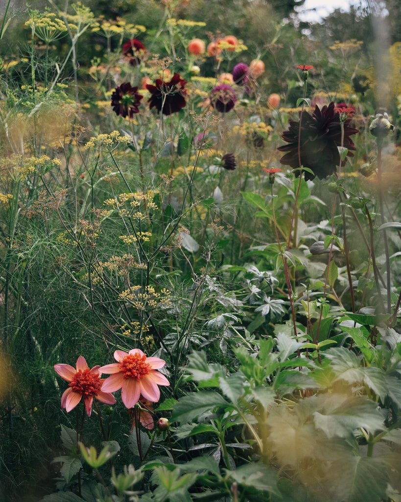 Dahlias at Monk's House in East Sussex | Lewes Map Store