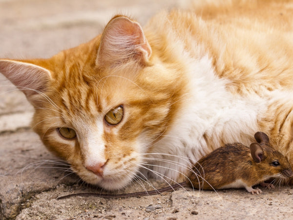 Can declawed cats catch mice