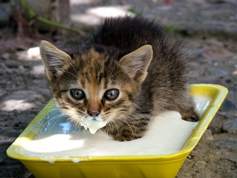 Kitten Always Hungry: What Is Going On With My Pet?