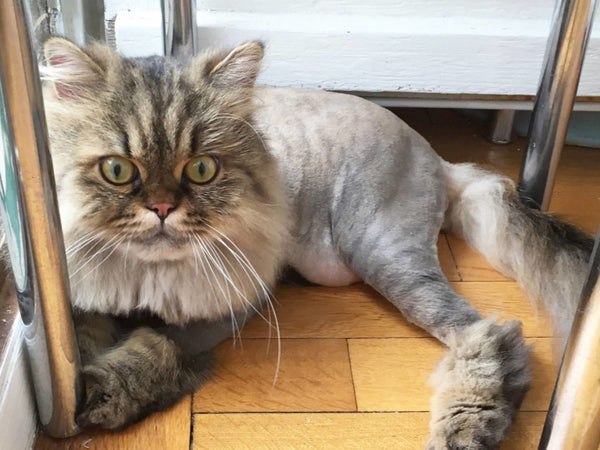Lion Cut For Cats