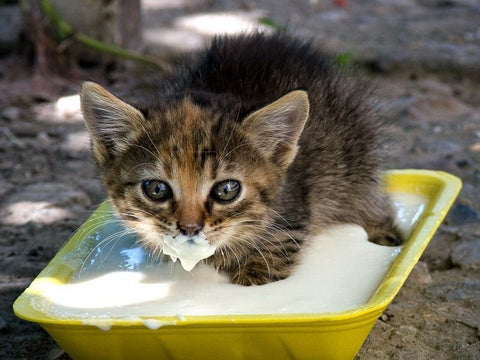 Kitten Always Hungry