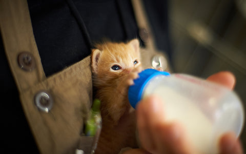 What Kind Of Milk Can You Give A Kitten