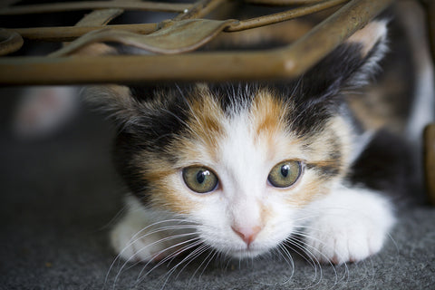How Much Should A 10-Week-Old Kitten Eat