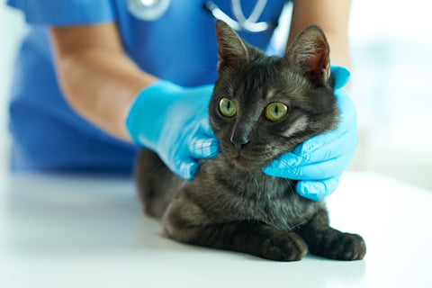 How To Tell If Ringworm Is Healing In Cats?