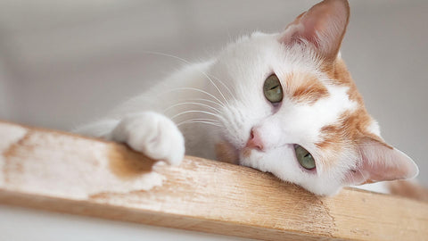 Urinary Tract Infections (UTI) In Cats